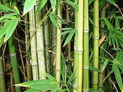 Чем примечателен бамбук?