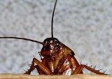 Почему исчезли тараканы?